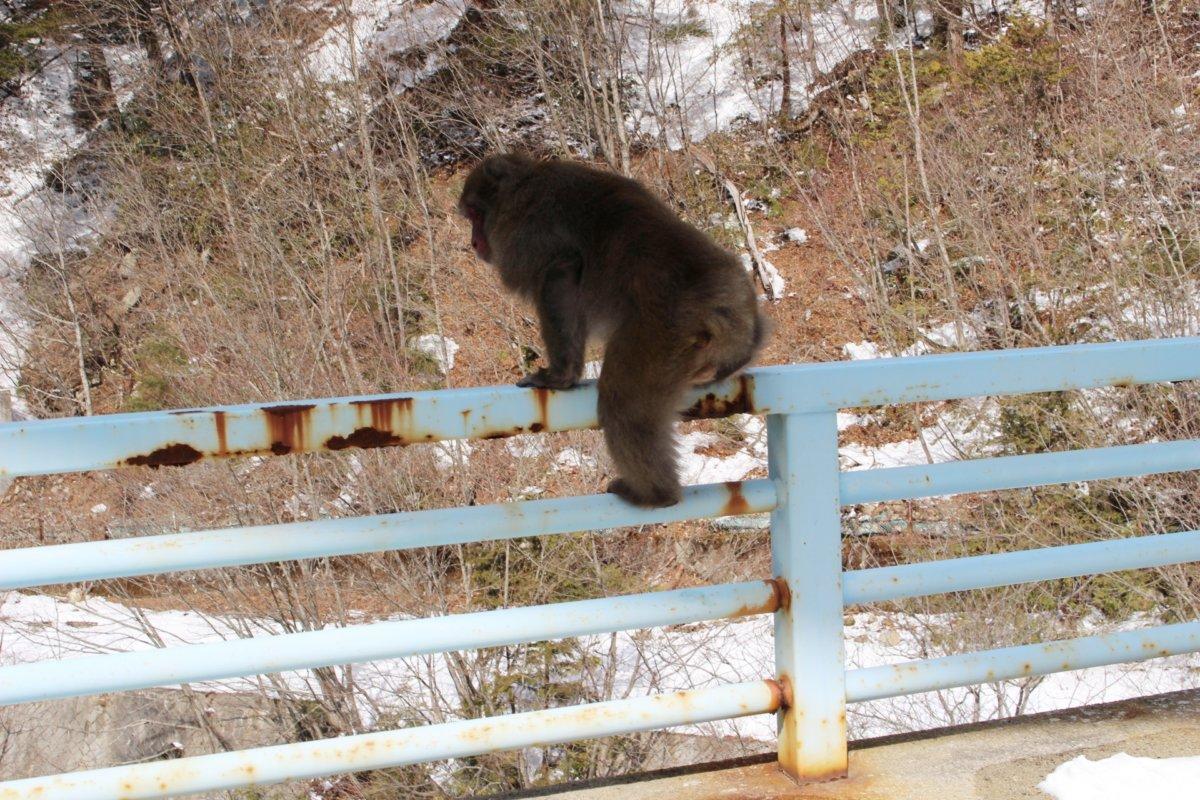 柵に登る猿